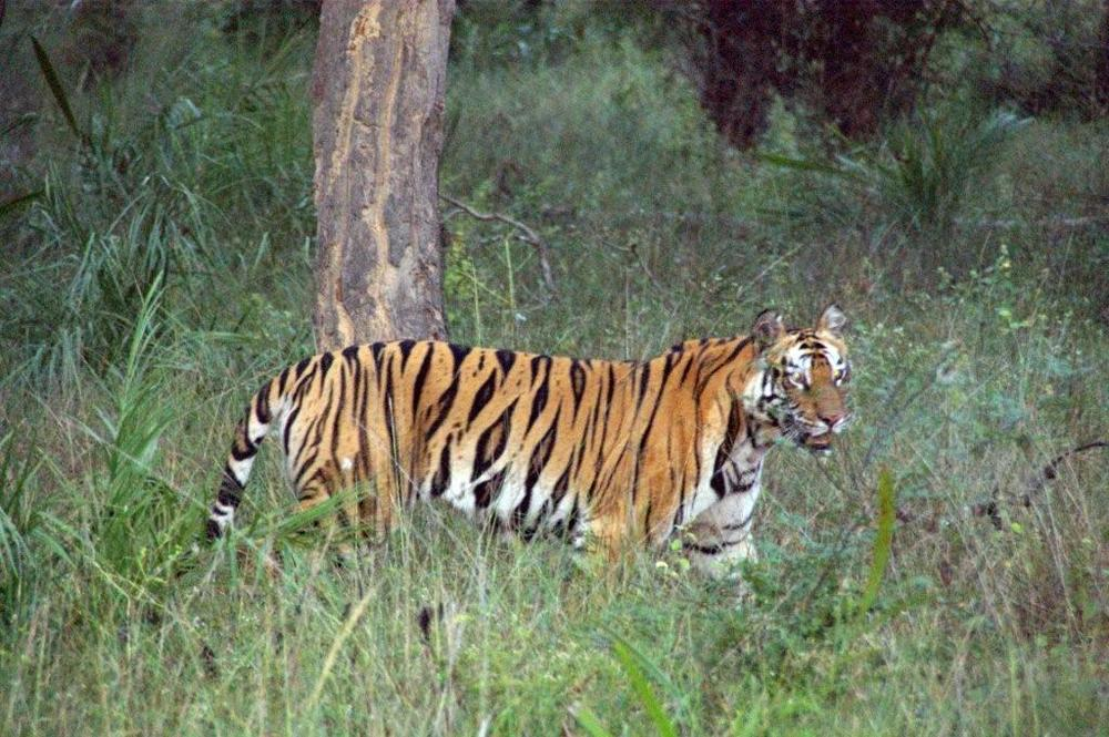 A tigress walks with confidence on land she calls home.