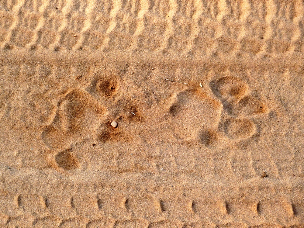 Tiger tracks give us hope that tigers lurk in the bush.