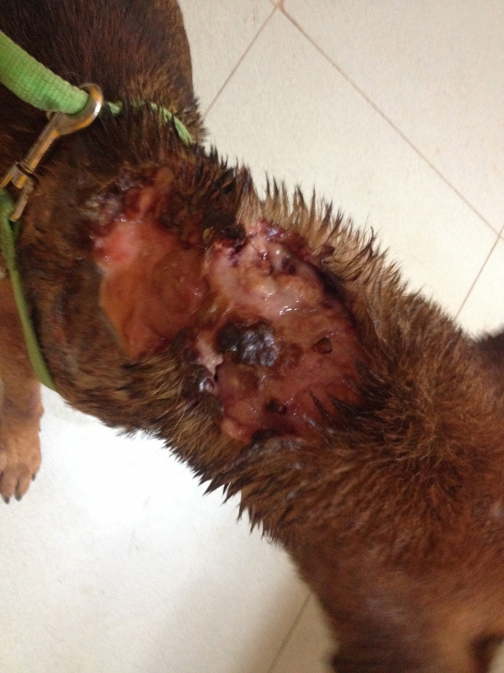 Machete wound: beneath the skin are maggots. The dog barked too much so a villager cut it with a machete.