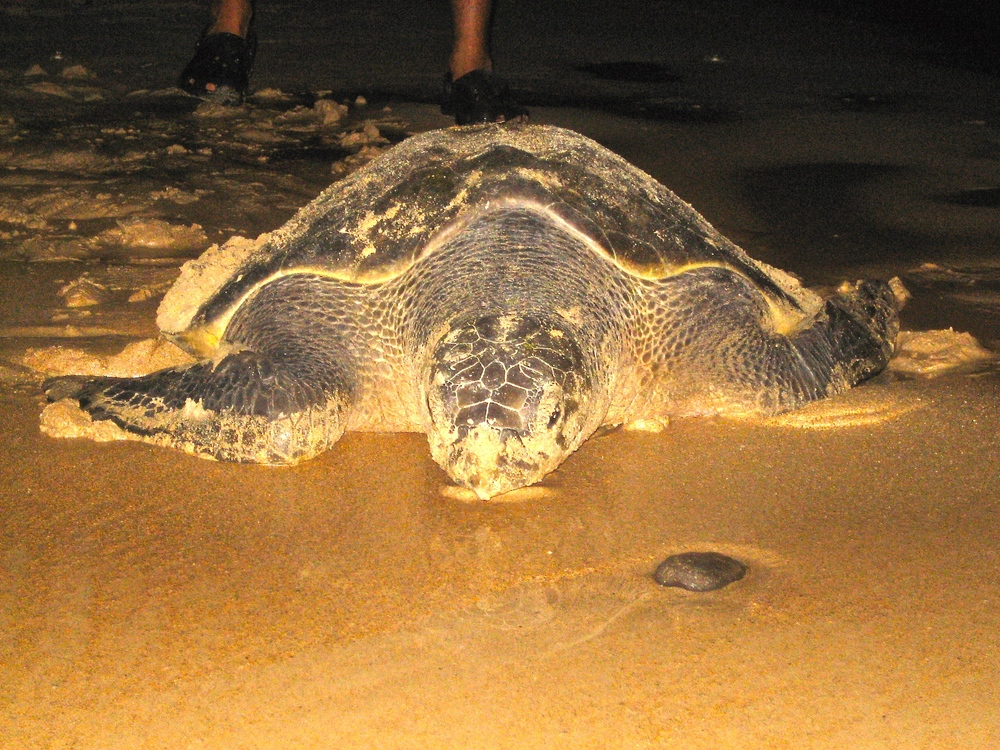 Volunteers harvest eggs that are laid at night and nest them in protection in an attempt to save the endangered Hawksbill turtle