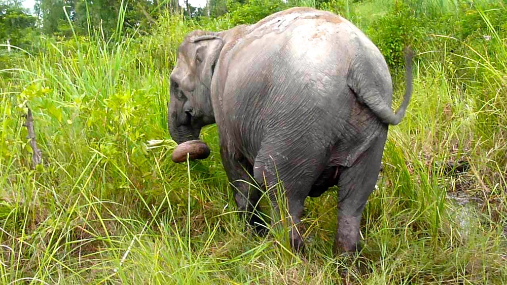 Two of the elephants residing here get free roaming time in protected forest for their sanction.