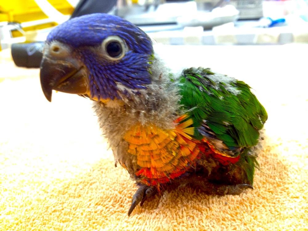 Helping native Australian wildlife like this juvenile Lorikeet.