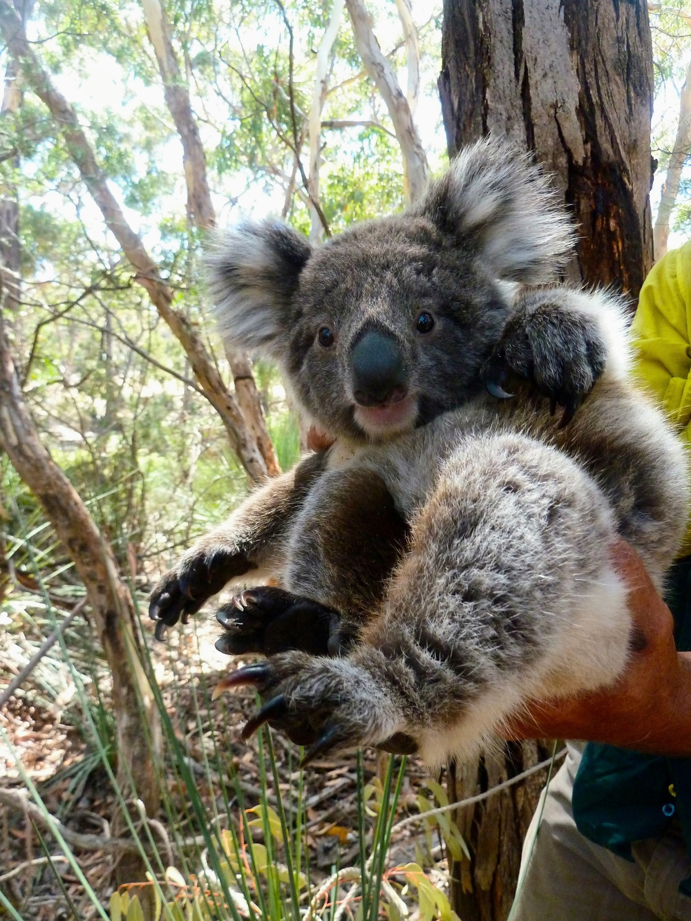 Kangaroo Island's koalas are sterilised and released to preserve native trees and prevent unwanted culling.