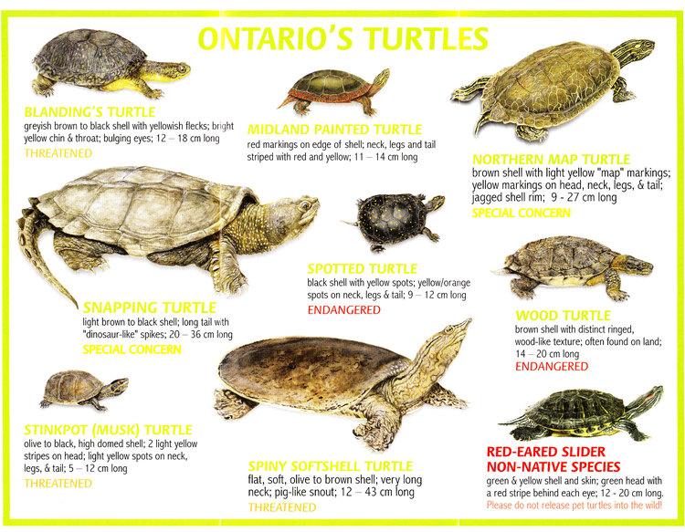 Ontario's Turtles
