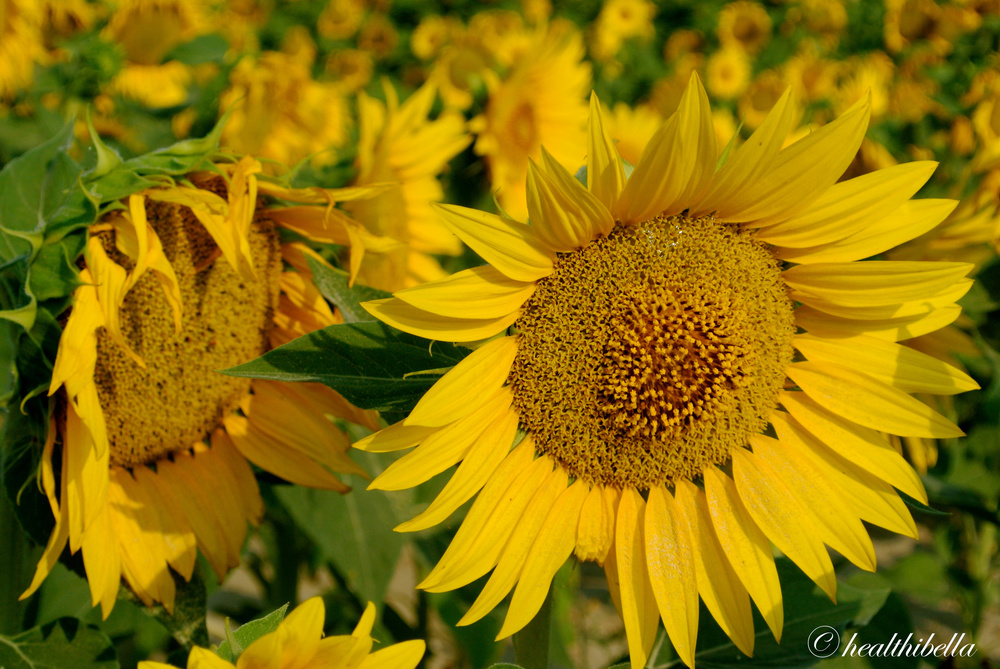 Sunflowers in Arles, France, where van Gogh famously painted these flowers.