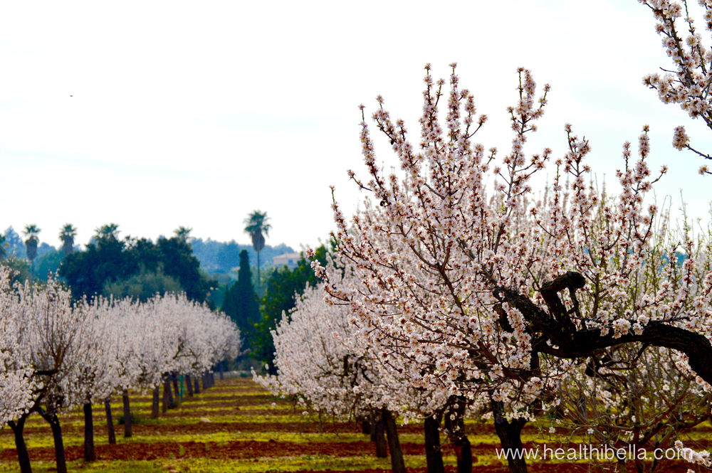 Mallorca's almond blossoms in February.