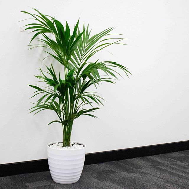 Meet the Kentia Palm. ⠀⠀ One of the most beautiful indoor air purifying plants & also one of the best 🌿 ⠀⠀ It prefers well drained soil and can tolerate low light. ⠀⠀ Add these guys around your house, office or corporate space to clean your airspace and bring your workspace to life! ❄️💚😊