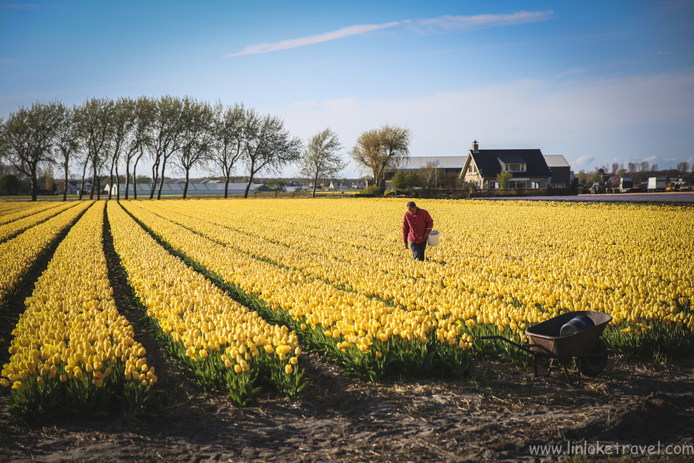 Golden tulips in bloom in Holland in Spring