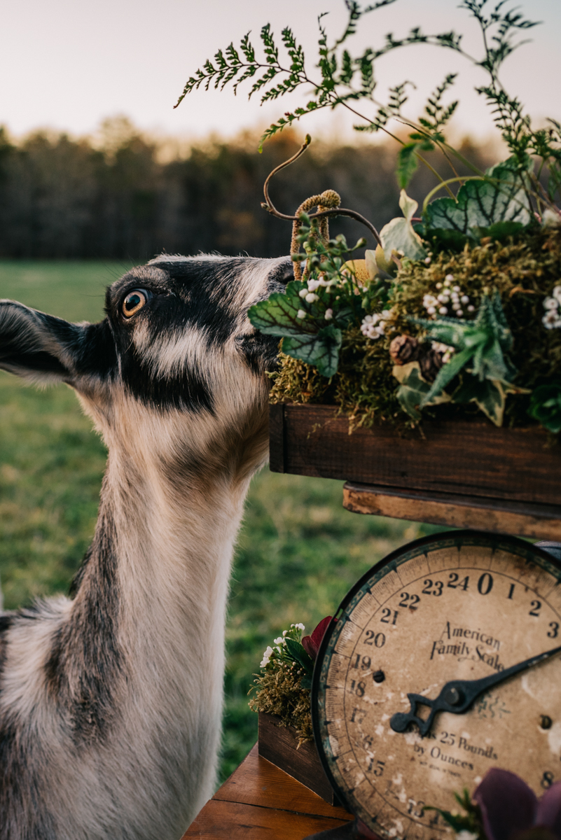 wedding goats at Windy Hill Farm