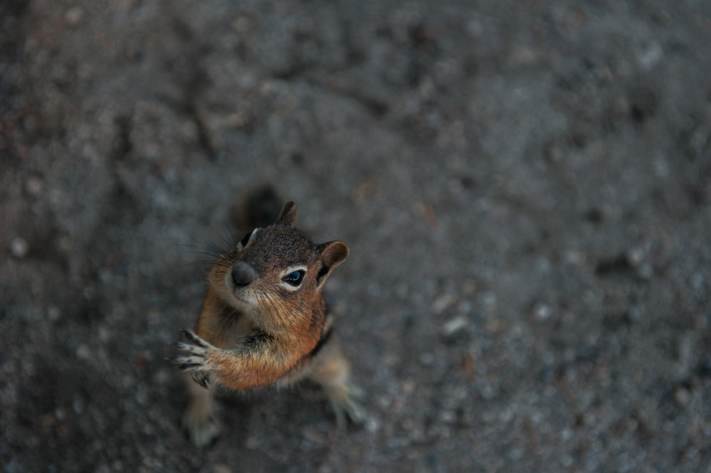 mountain elopement chipmunk