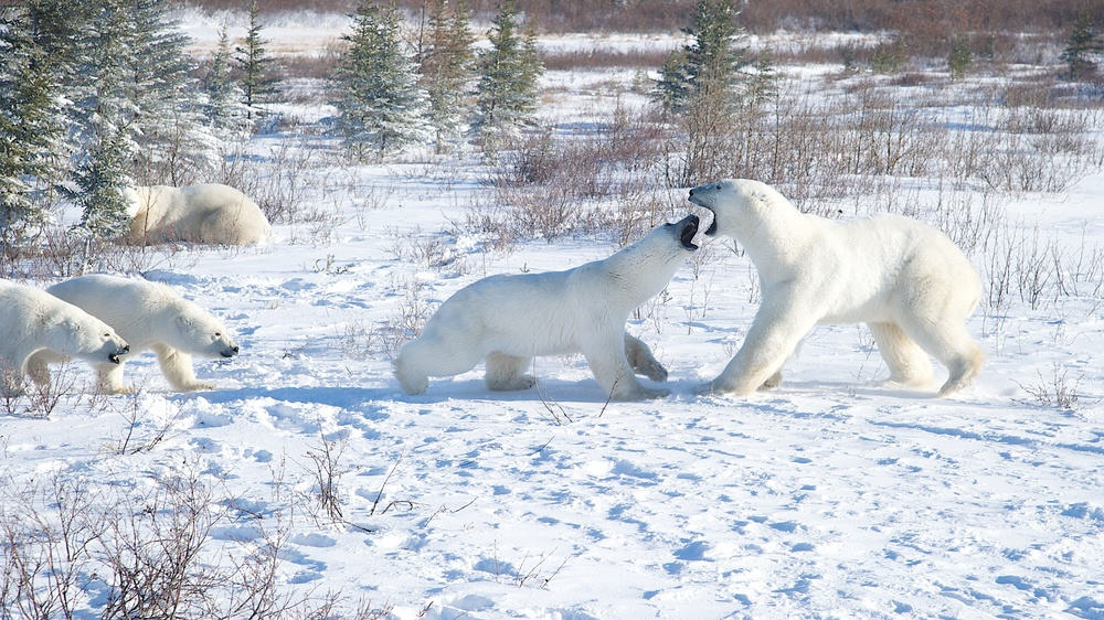 Female Polar bear defending her cubs Nanuk Canada.jpg