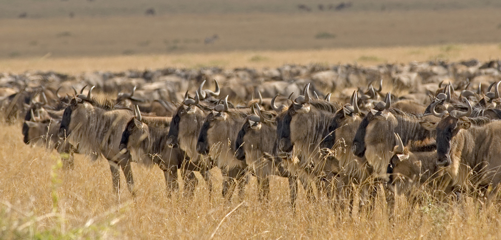 Wildebeest staring at a lioness.jpg