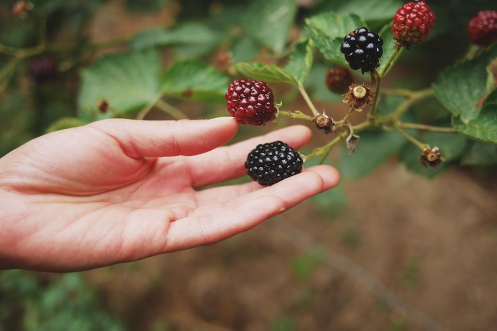 成熟的黑莓