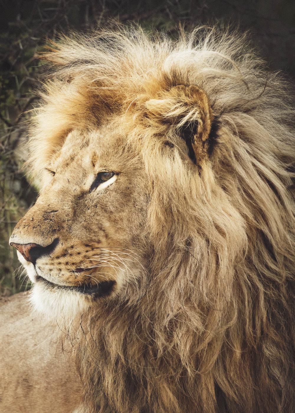 37_STOKES_LION.JPG