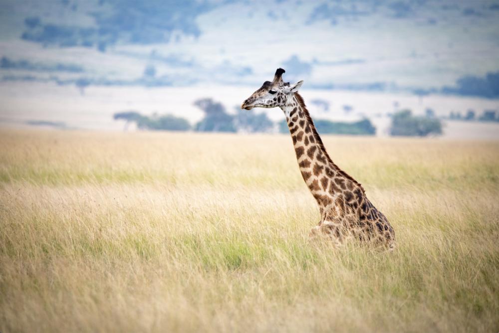 A Giraffe Rests