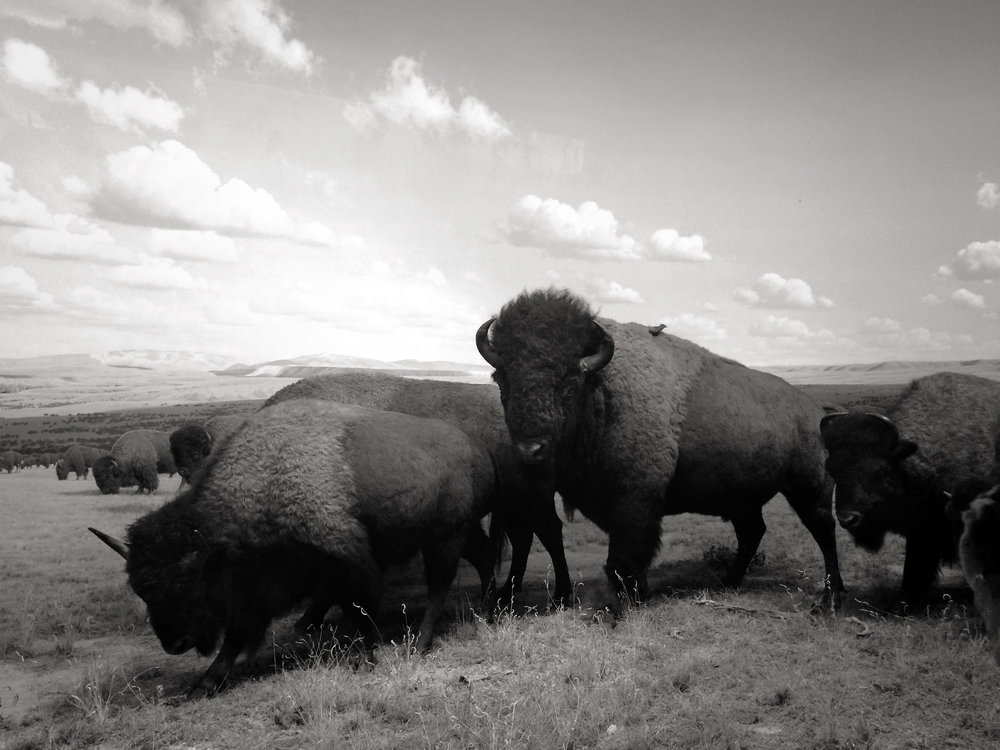 ⎯ Buffaloes. Image © Rob Severein 2014. All rights reserved.