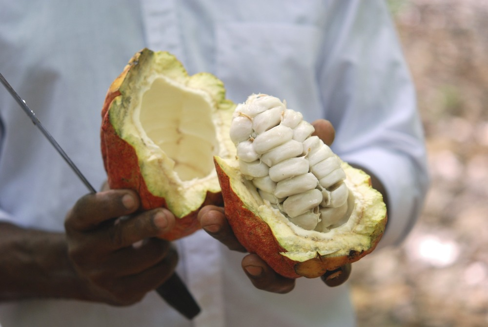 "Inside a cacao pod - sweet white pulp surrounds bitter ""beans"" (really seeds). These must be fermented, dried, and ground on their way to becoming chocolate."