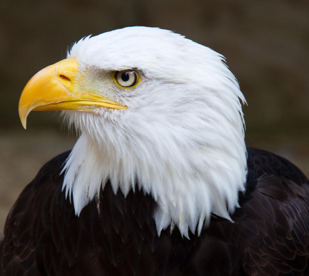 Bald_Eagle_Head.jpg