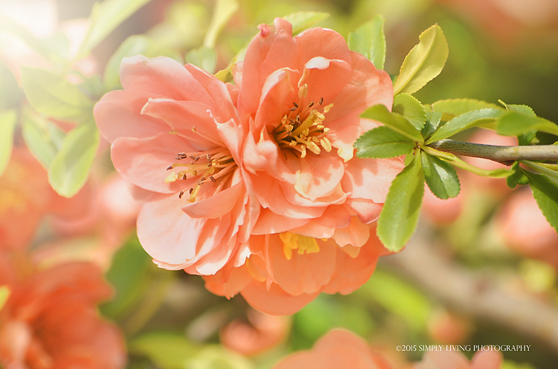 Peach Spring ©2014 Simply Living Photography