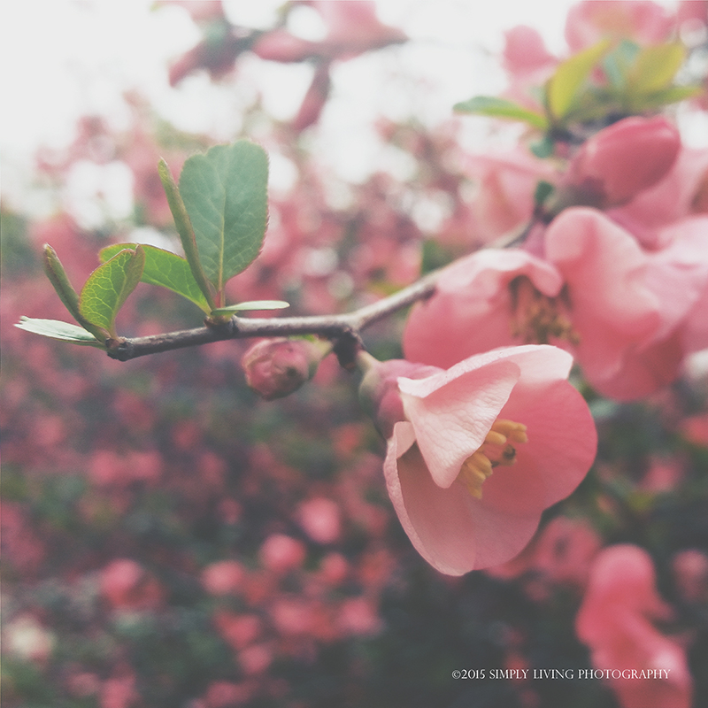 Pink Blossom by ©simply living photography featured at Hiyapapayphotoaday