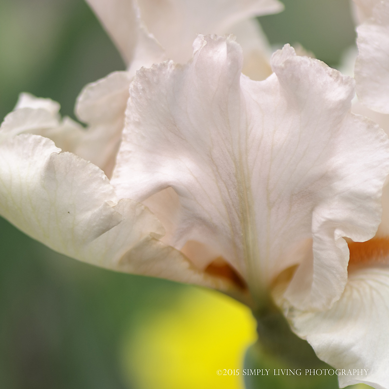 Veined Iris by Lisa Kerner ©Simply Living Photography