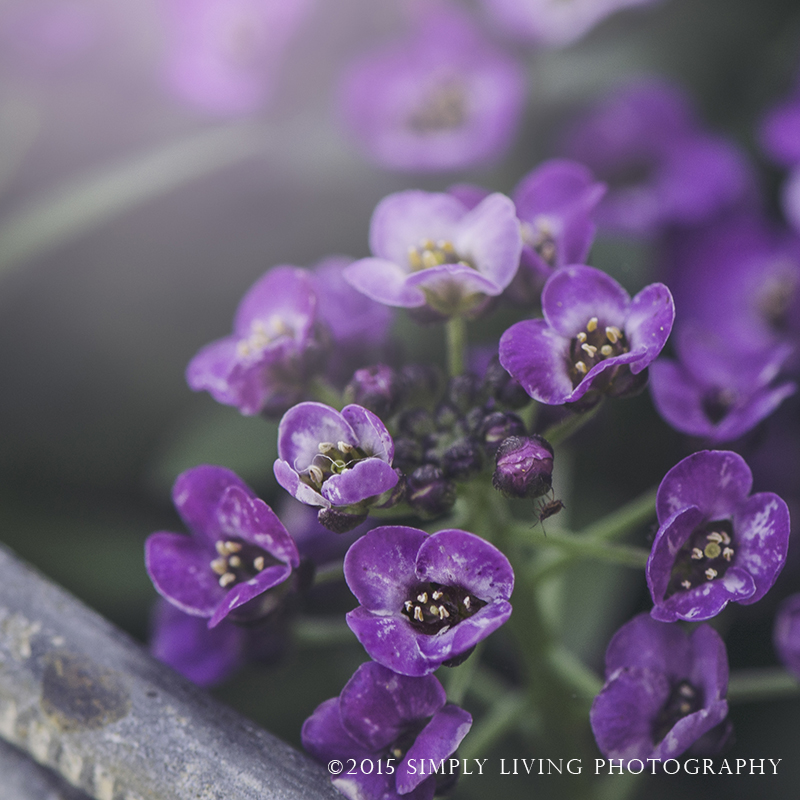 Purple Minnies by Lisa Kerner ©Simply Living Photography