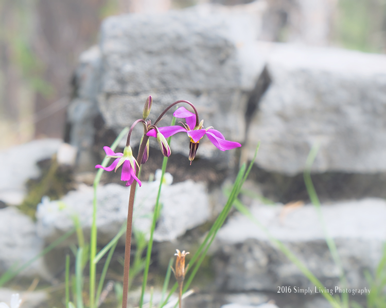 Wildflowers in the Black Hills | Life Thru the Lens link up | Lisa Kerner | Simply Living Photography