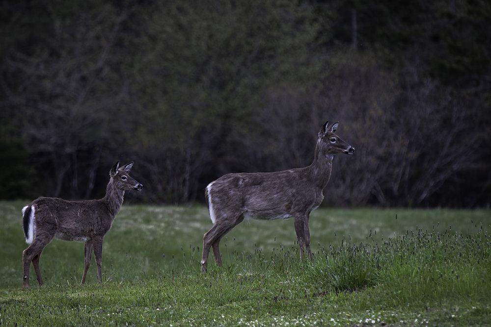 31-Deer RBH 25May2018.jpg