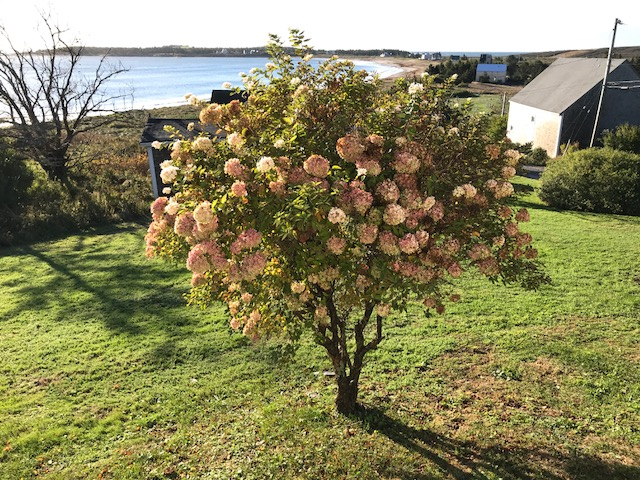 hydrangea tree.JPG