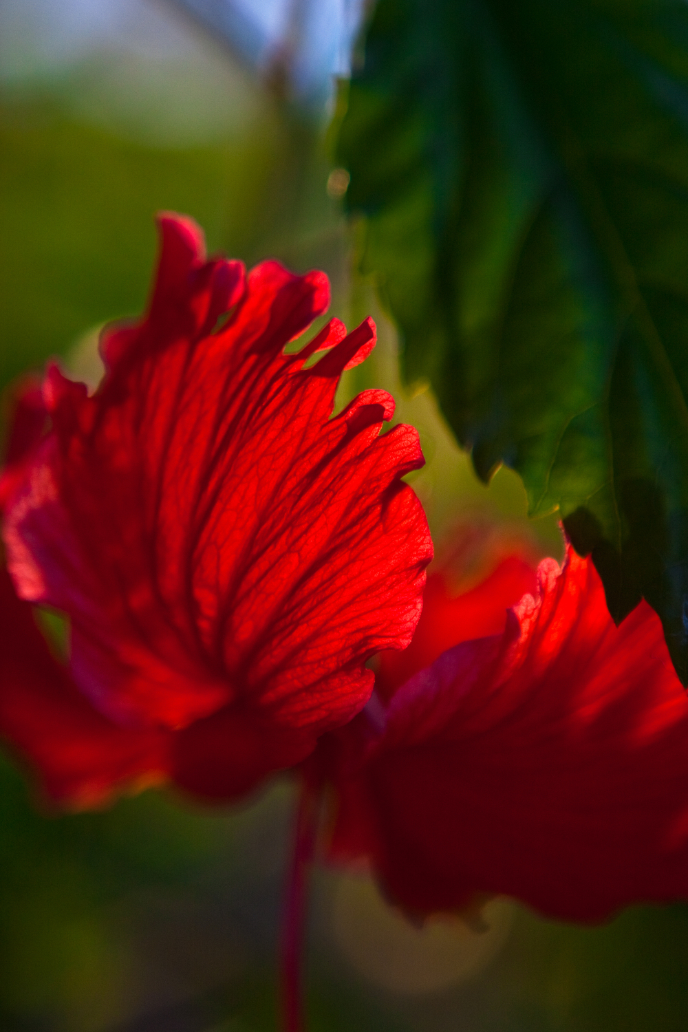 Backlit detail of red flowers and green leaves.