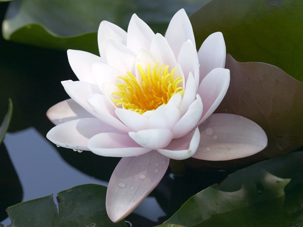 lotus-flower-wallpaper-11.jpg