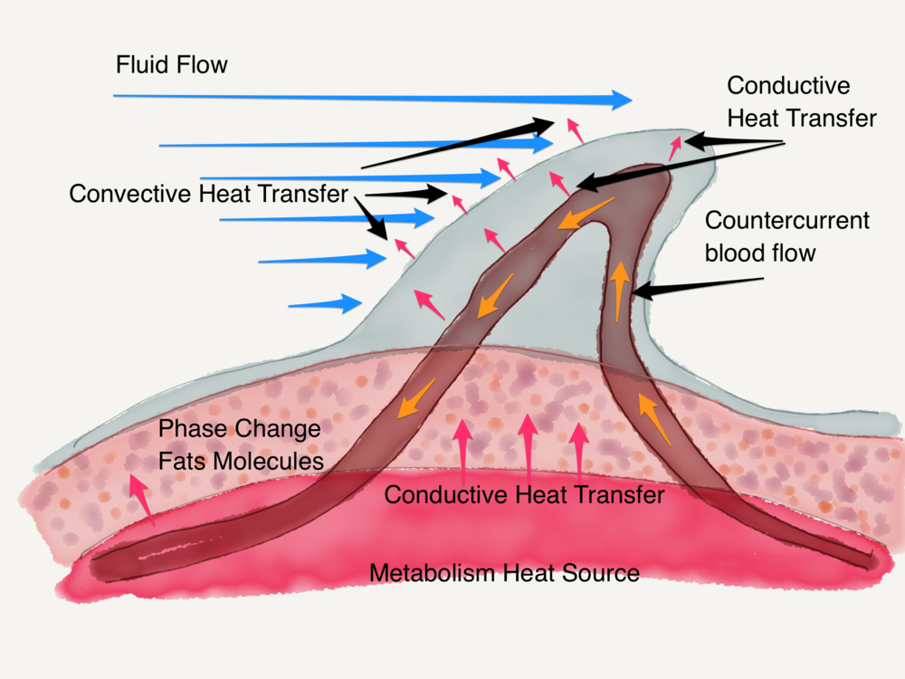 Bottlenose dolphin thermoregulation diagram by Nature Comes Standard LLC