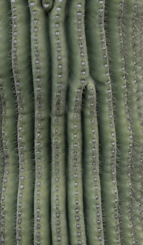 Corrugation on side of Saguaro cactus