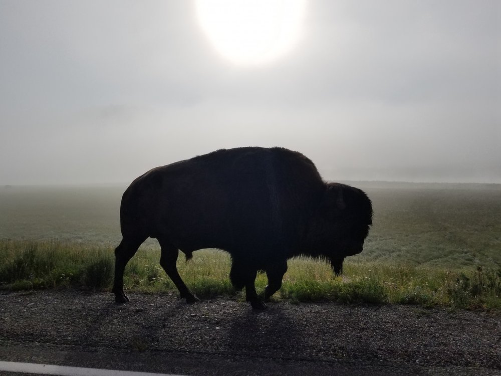 Yellowstone Bison.jpg