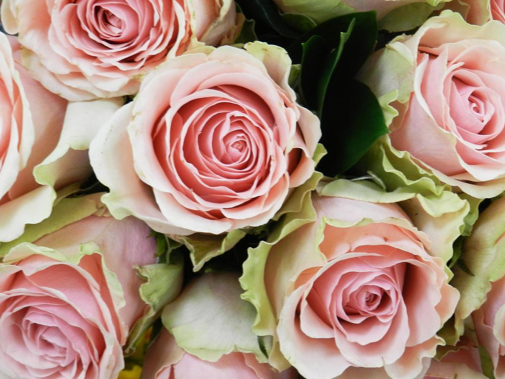 pink green roses.jpg