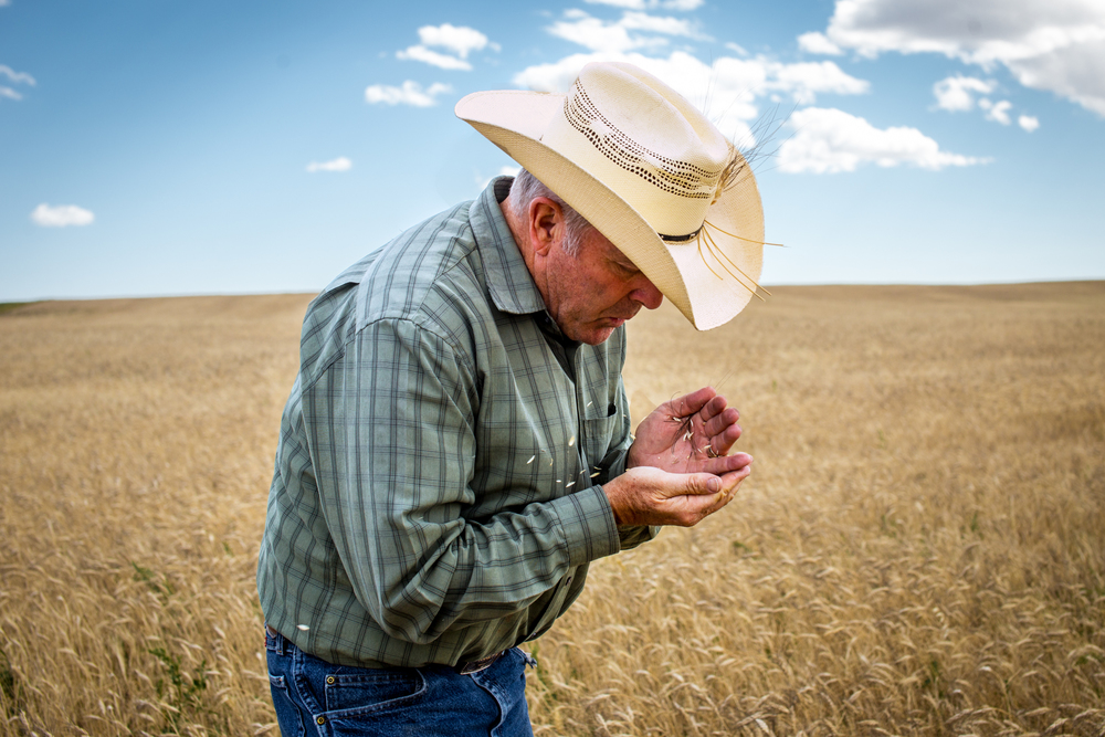 Bob Quinn, blows chaff from Kamut growing on his farm outside of Big Sandy, Montana.