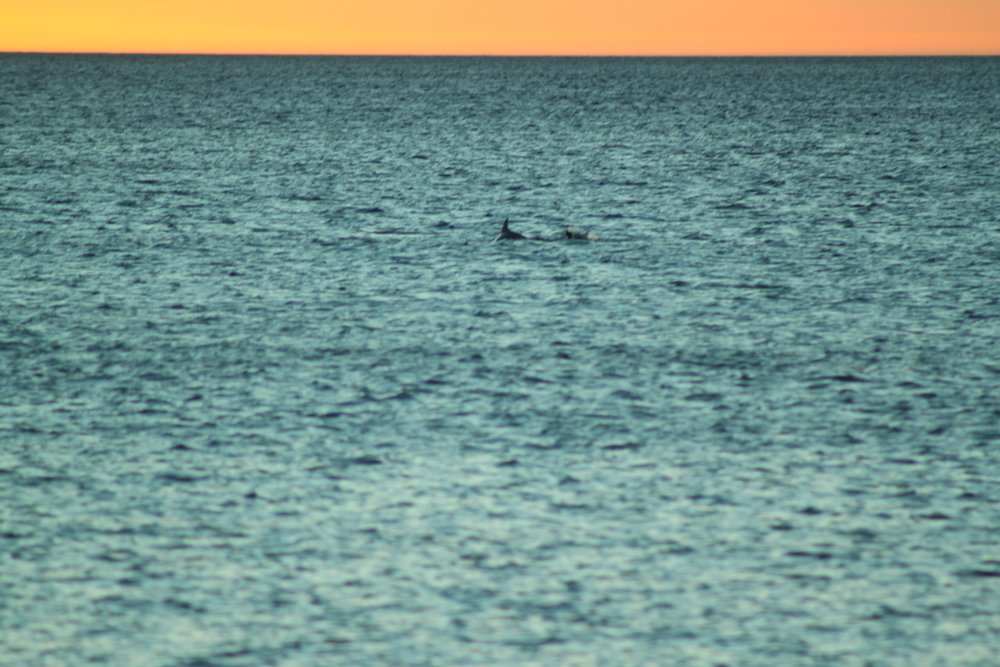Dolphins swimming at sunset in Carrickalinga
