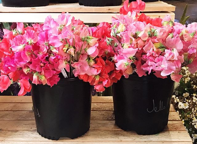 Buckets that make me so happy! Amazing sweet peas from the @seattlewholesalegrowersmarket #flowerly #flowerlystudio
