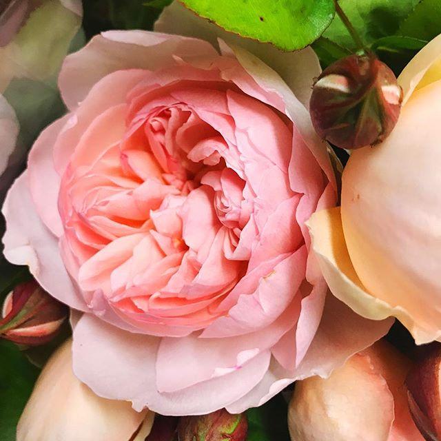 Most perfect Garden Rose! #flowerly #flowerlystudio #gardenrose