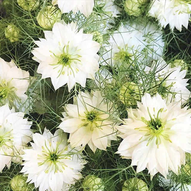 Good morning with a bucket of nigella! #flowerly #flowerlystudio #instagram