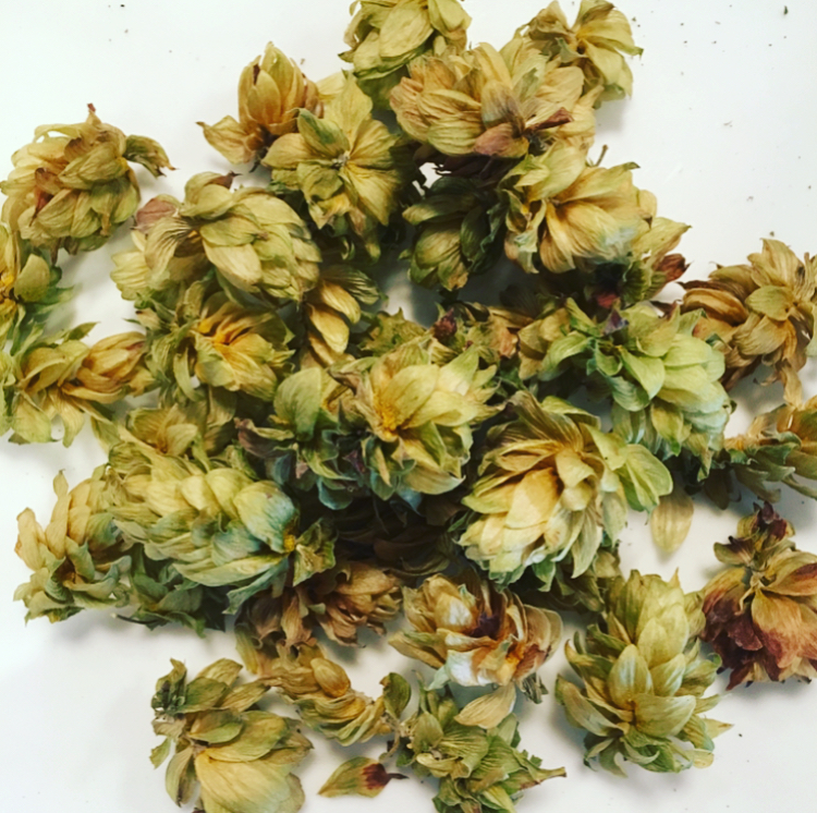 The part of the hops plant that is used is  strobiles:  female flower clusters.