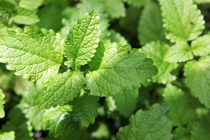 Lemon Balm leaves.jpg