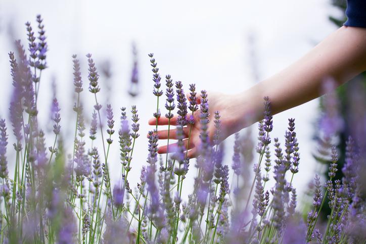 Hand stroking Lavender.jpg