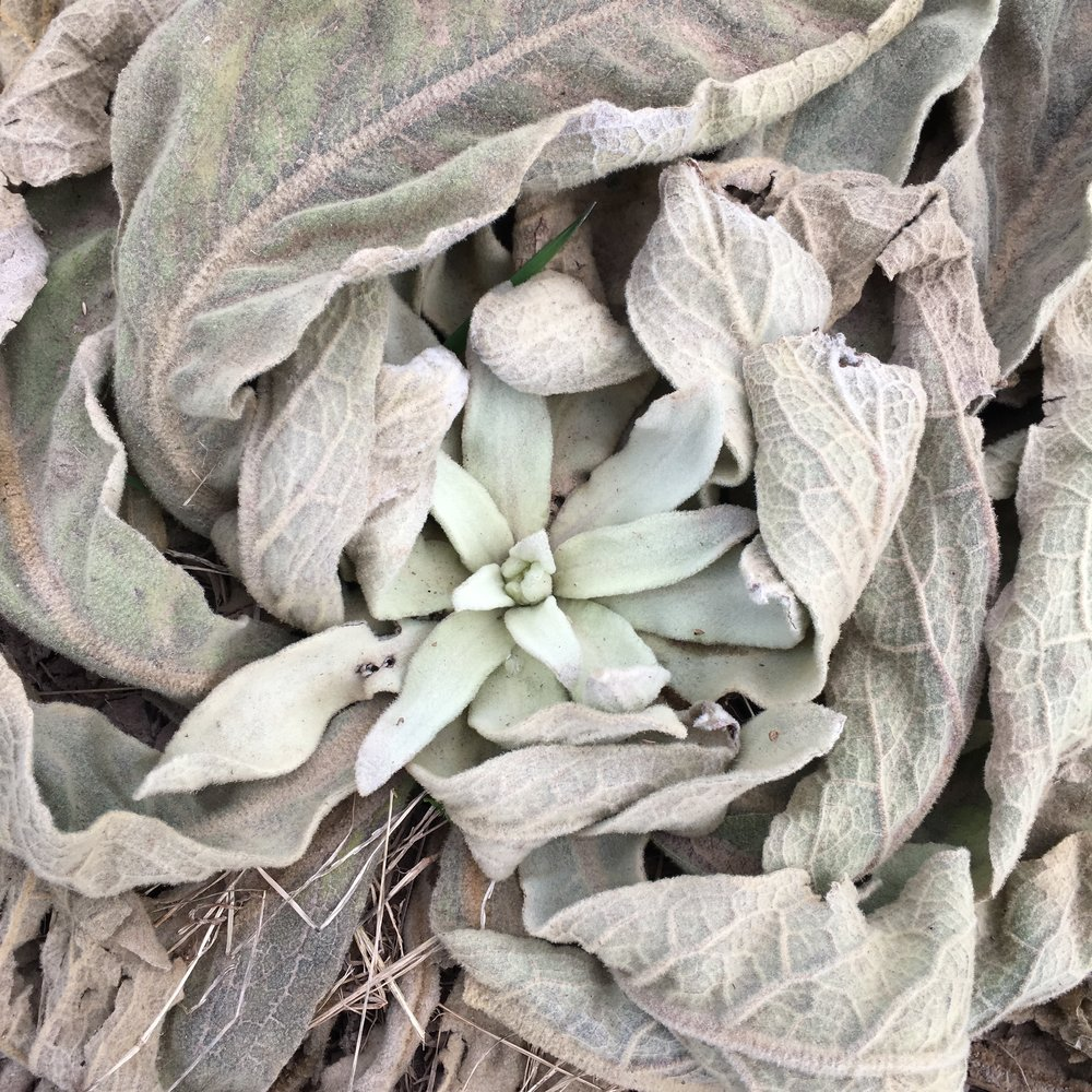 This picture is the biggest cuz I love it. Winter mullein!
