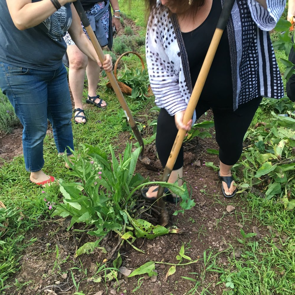 Digging comfrey root divisions