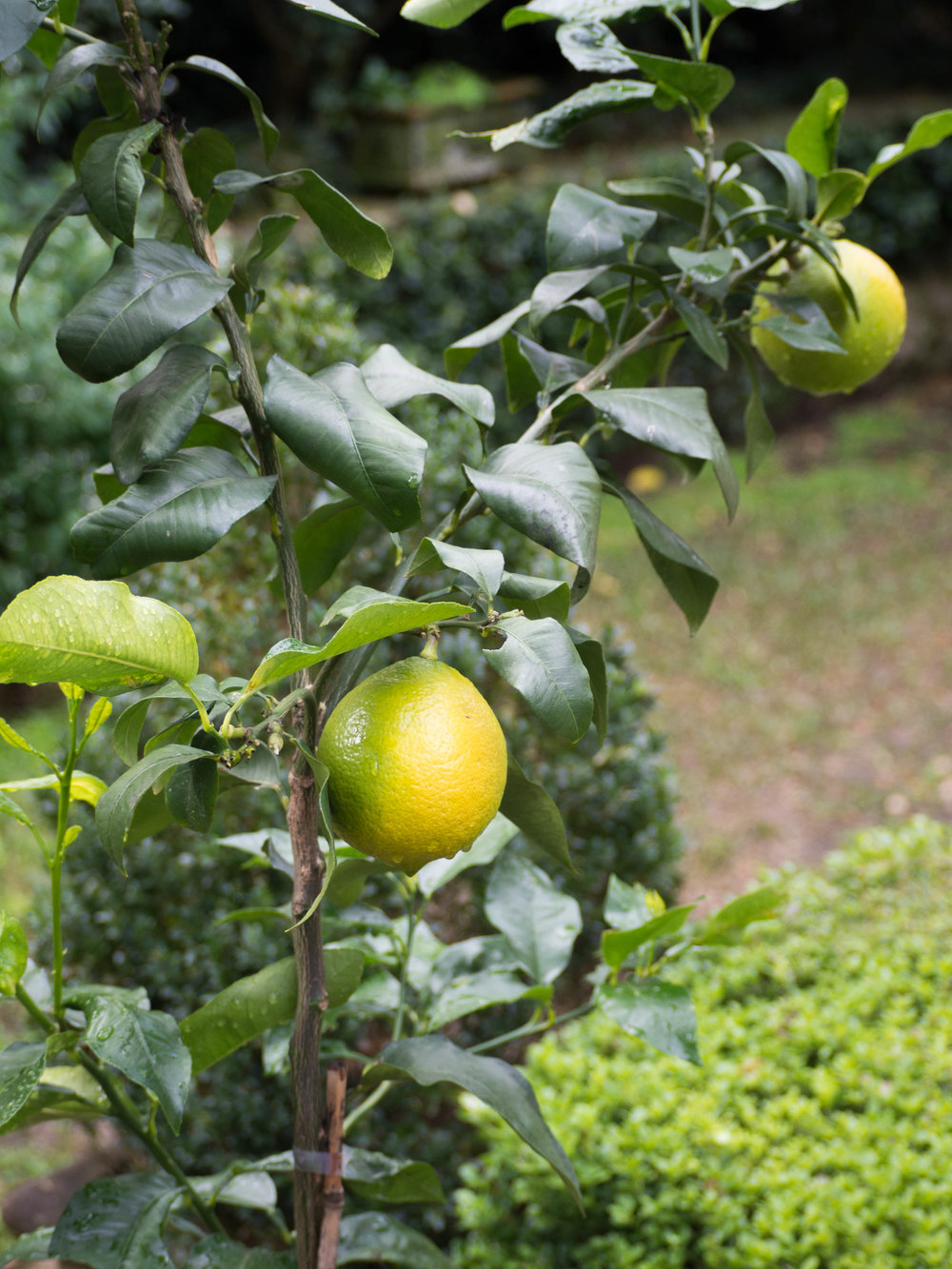 Bergamots on tree almost ripened