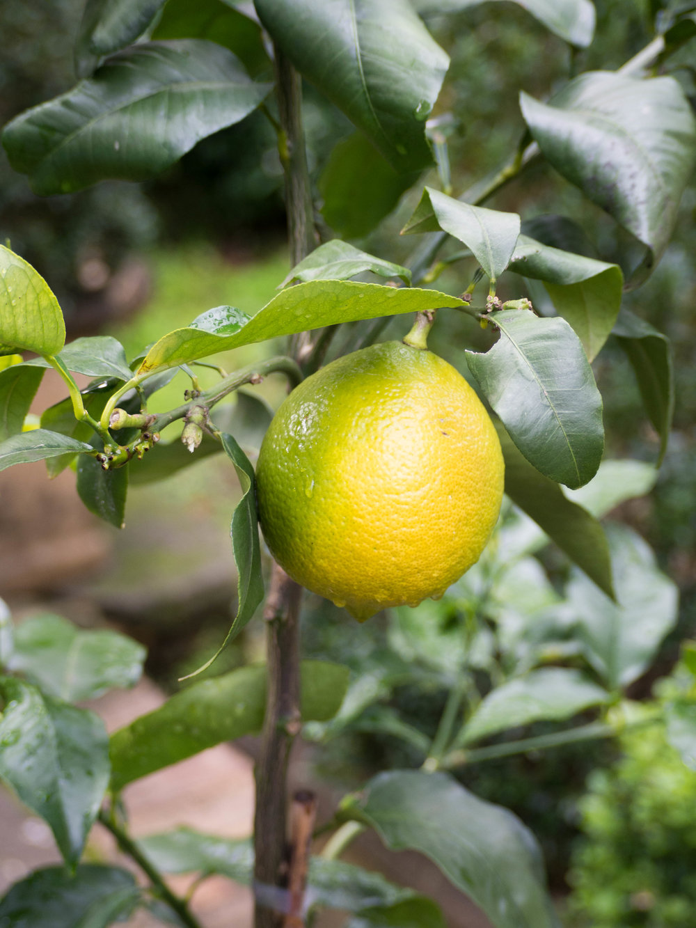 Bergamot on tree almost ripened