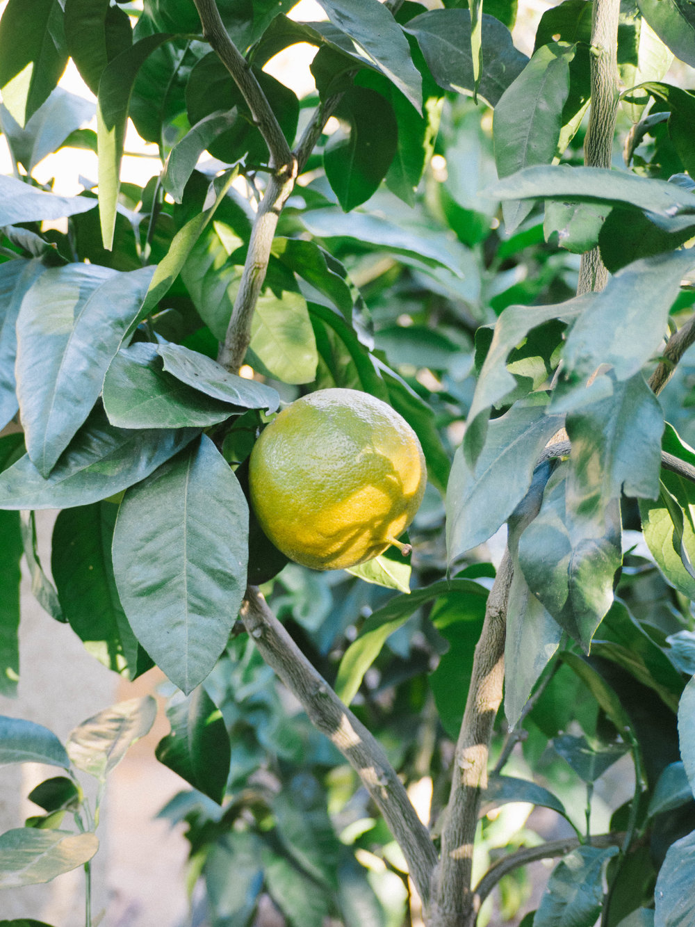 Homegrown Bergamot