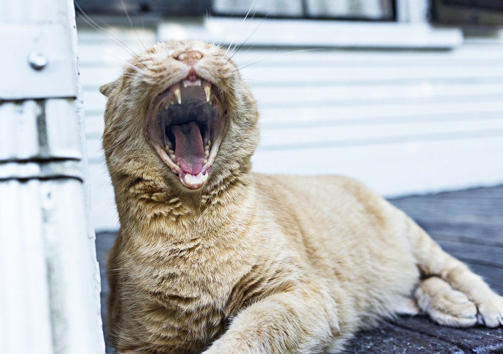 yawning-cat