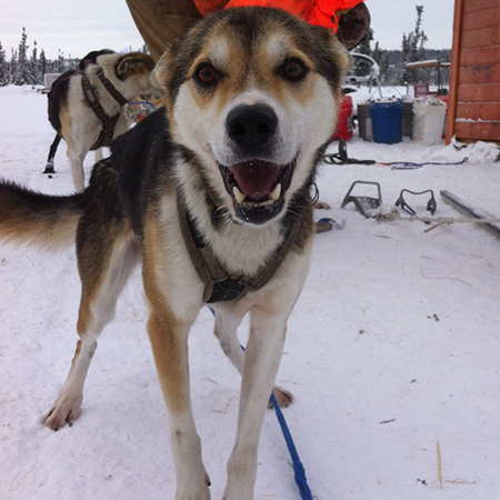 Hi, I'm Ambler!     I'm a rescue dog! I'm also a lead dog!   I'm 6 years old! I've been with Zoya since 2012 and I've run several races in preparation for this years Iditarod! I'm a little shy with people but I love my team and time on the trail!